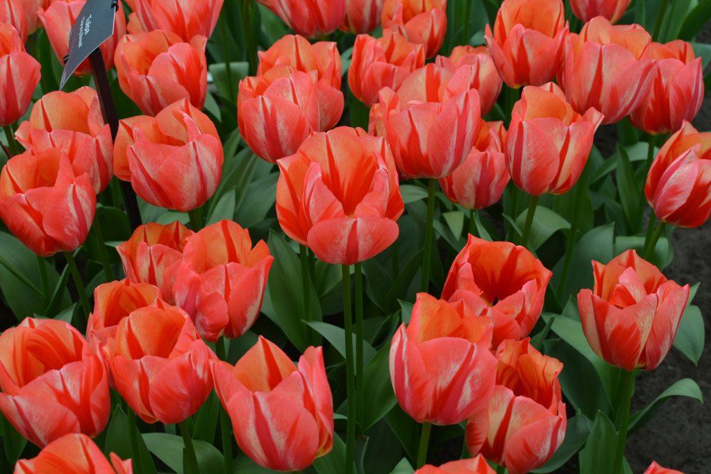 I tulipani di amsterdam