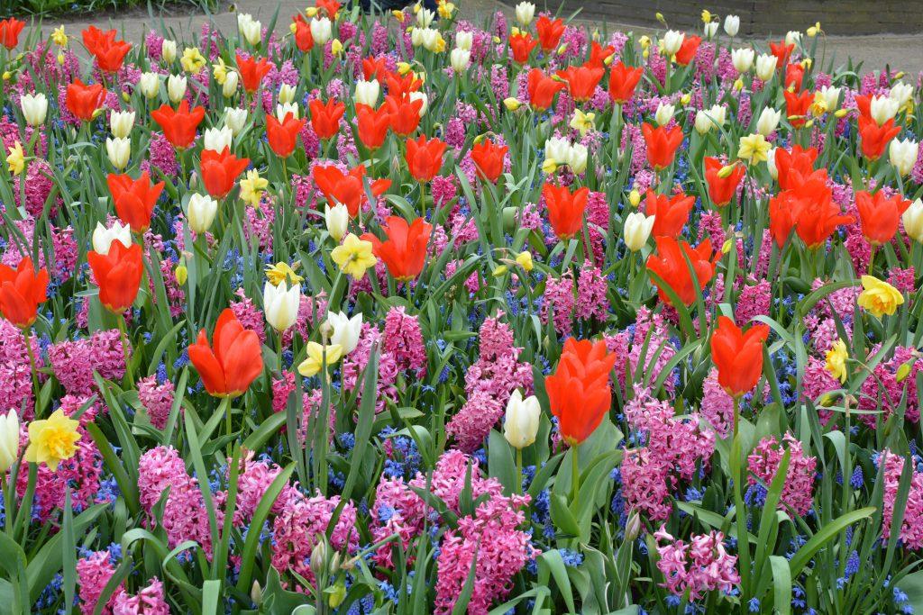 Tulipani di amsterdam