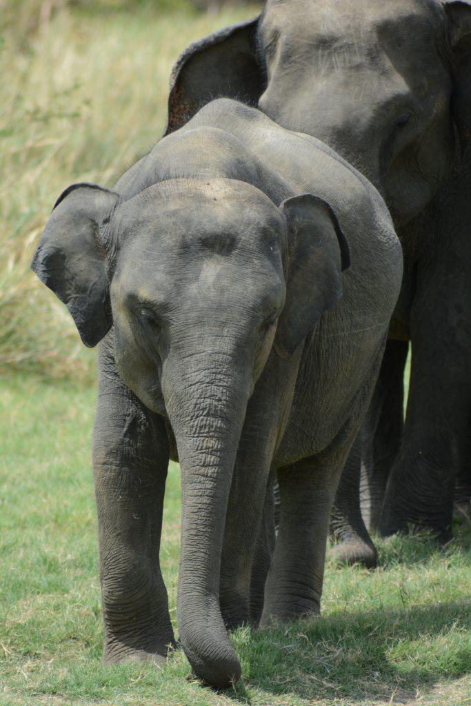 elefante piccolino a Minneriya