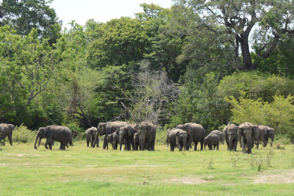 branco di elefanti a Minneriya