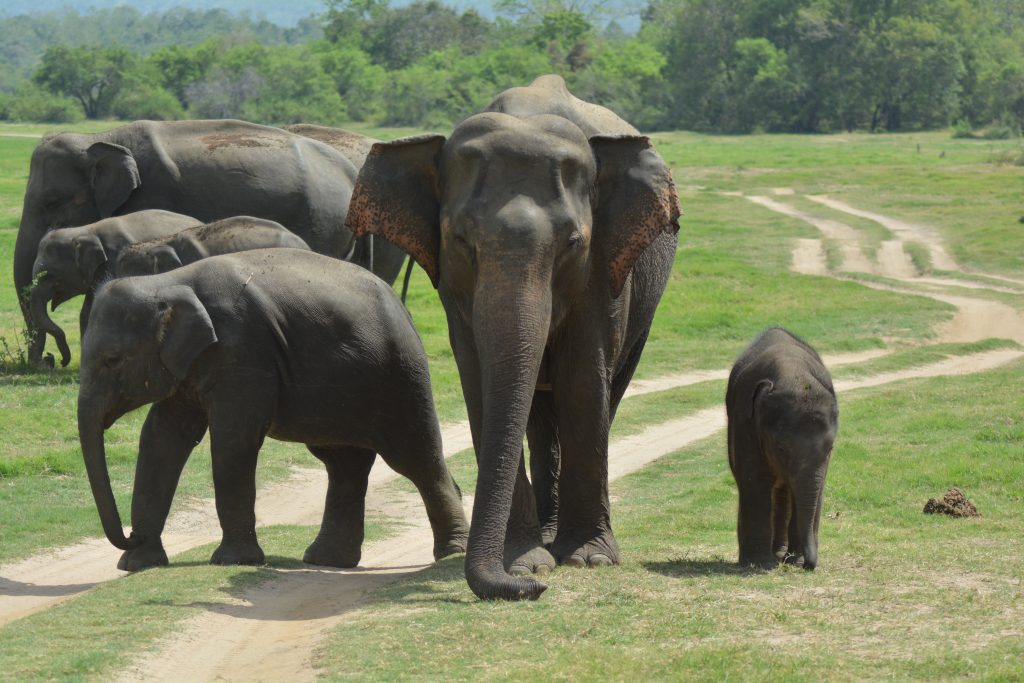 elefanti a Minneriya