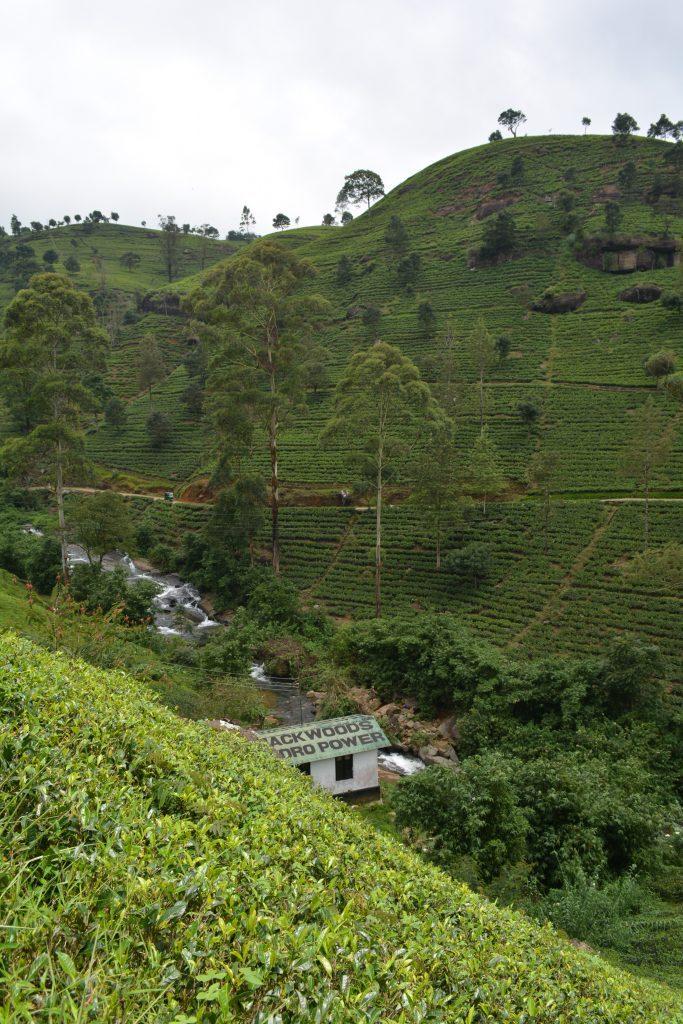 Piantagioni di té in Sri Lanka