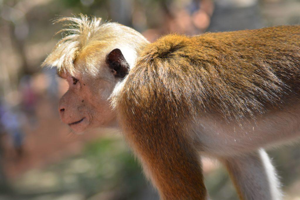 scimmietta con il ciuffo, Sigiriya