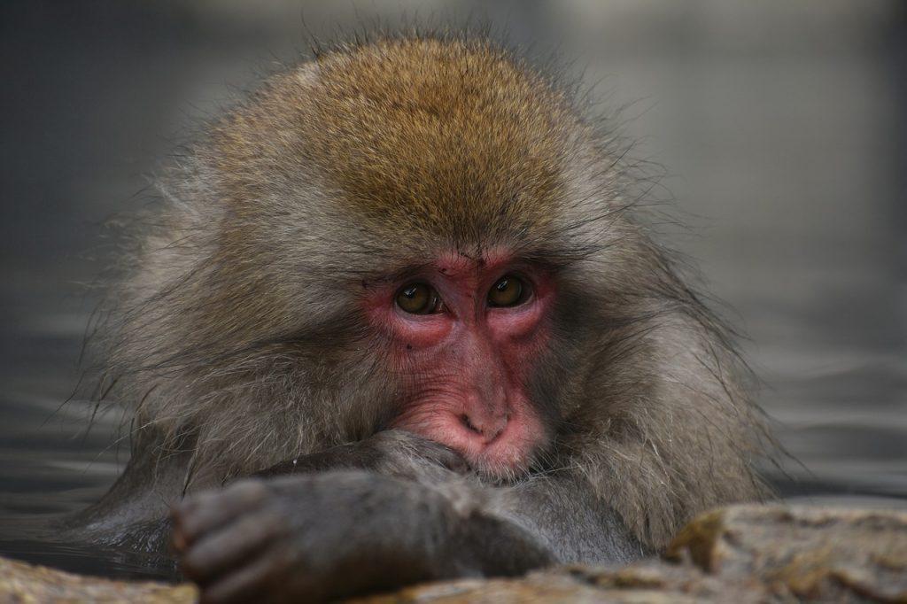 Scimmia della neve di Jigokudani