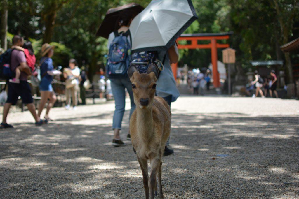 cervo in posa a Nara